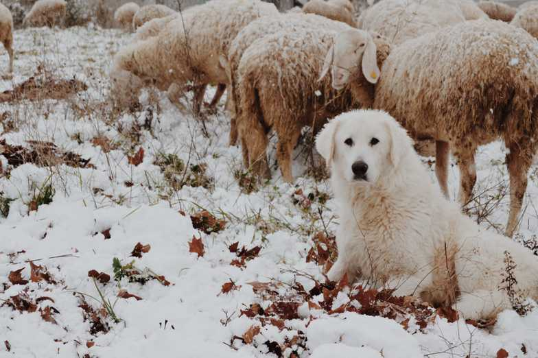 Sheep Dog in front of Sheep